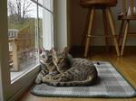 Очаровательные коты Оцикот