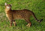 Кошка породы Чито на траве