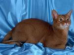 Абиссинская кошка на голубом фоне