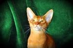 Абиссинская кошка на зеленом фоне