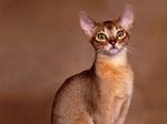 Портрет Абиссинской кошки