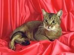 Абиссинская кошка на красном фоне