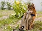 Абиссинская кошка на природе