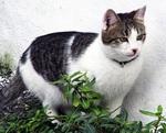 Эгейский кот в траве