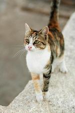Эгейский кот гуляет