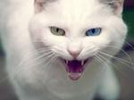 Агрессивная Яванская кошка
