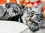 Морда Американской короткошерстной кошки