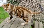 Американская короткошерстная кошка на природе