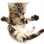 Котенок Американской короткошерстной кошки