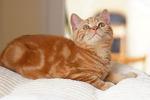 Американская короткошерстная кошка смотрит