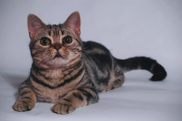 Американская жесткошёрстная кошка фото