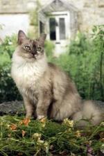 Азиатская полудлинная кошка на отдыхе