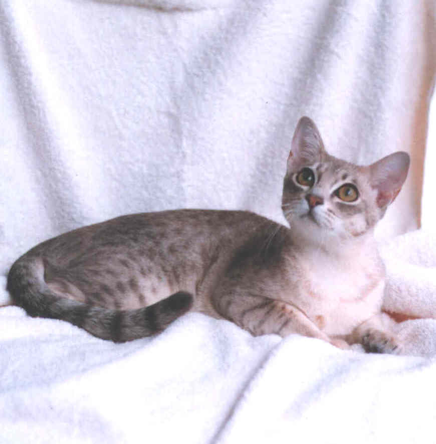 Австралийская дымчатая кошка фото