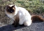 Балинезийская кошка на природе