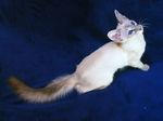 Балинезийская кошка смотрит
