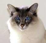 Морда Балинезийской кошки