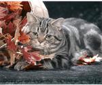 Красивая Американская короткошерстная кошка