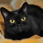 Красивая Бомбейская кошка