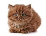 Красивый котенок Британской длинношерстной кошки