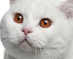Красивая Британская короткошерстная кошка
