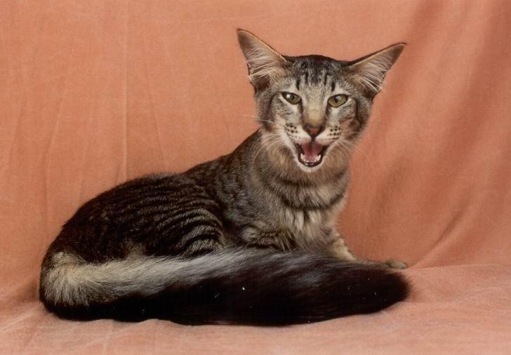 минскин кошка фото