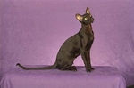 Красивый кот породы Ориентал короткошерстный