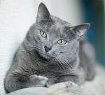 Красивая Русская голубая кошка