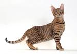 Красивый кот Тойгер