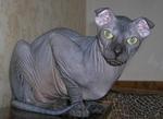 Красивый кот породы Украинский Левкой