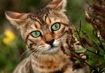Морда Бенгальского кота