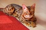 Бенгальская кошка на полу