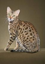 Портрет Бенгальской кошки