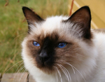Морда Бирманской кошки