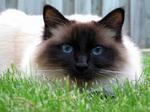 Бирманская кошка на траве