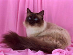 Бирманская кошка на розовом фоне
