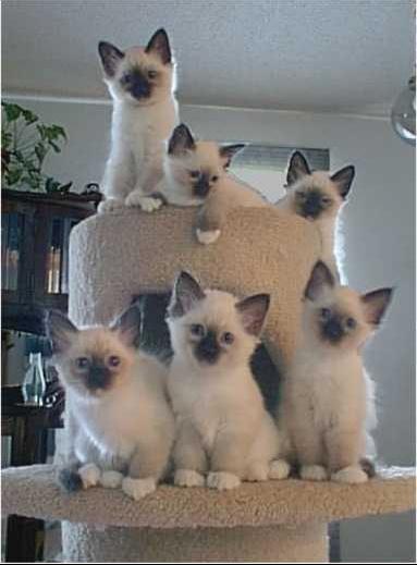 фото бирманские котята