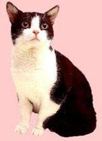 Черно-белая Американская жесткошерстная кошка