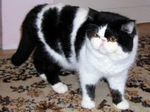 Черно-белая Экзотическая короткошерстная кошка