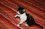 Черно-белый котенок Немецкого Рекса