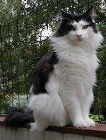 Черно-белая Норвежская лесная кошка