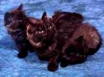 Черные Британские полудлинношерстные кошки