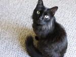 Черная собака породы Шантильи-Тиффани