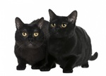 Портрет Бомбейских кошек