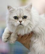 Миловидная Азиатская полудлинная кошка