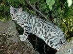 Симпатичная Бенгальская кошка