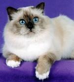 Миловидная Бирманская кошка
