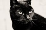 Милая Бомбейская кошка