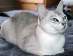 Миловидная кошка породы Бурмилла