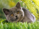 Миловидный котенок Шартрез