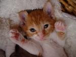 Очаровательный котенок Немецкого Рекса